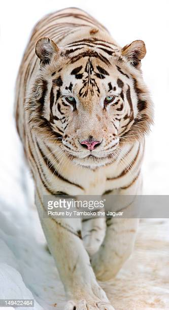 white tiger - white tiger stock photos and pictures