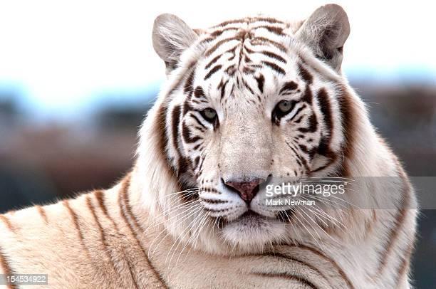 white tiger (panthera tigris) - white tiger stock photos and pictures