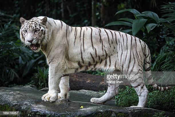 white tiger - tigre de bengala fotografías e imágenes de stock