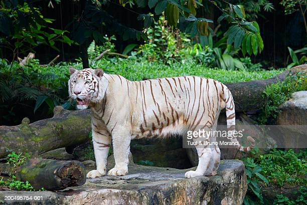 white tiger (captive) - white tiger stock photos and pictures