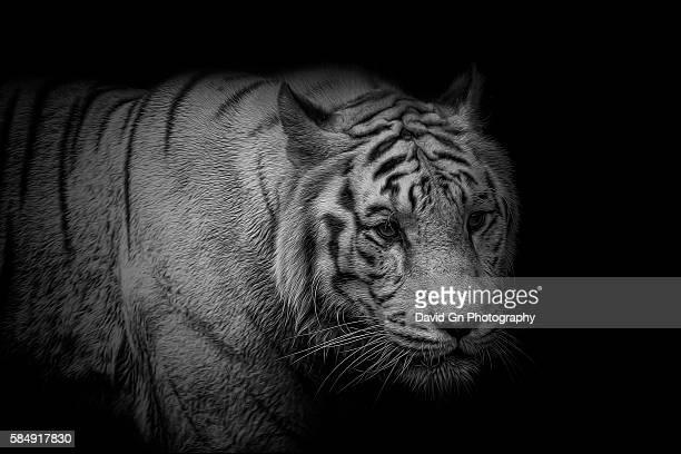 White Tiger Portrait Monochrome