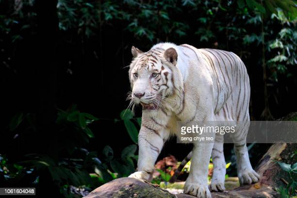 white tiger portrait - threatened species stock photos and pictures