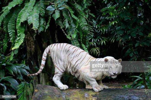 white tiger portrait - rare stock pictures, royalty-free photos & images