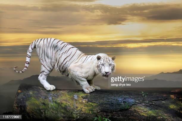 white tiger portrait - stock photo - especies amenazadas fotografías e imágenes de stock