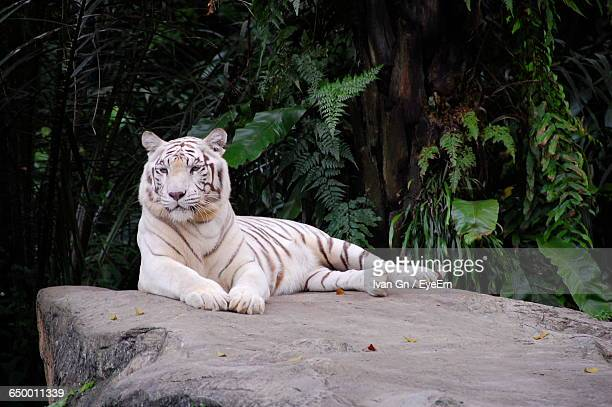 white tiger resting on rock - white tiger stock photos and pictures