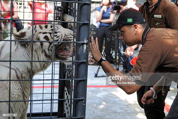A white Tiger takes instruction from a zoo keeper during an enrichment session at the Singapore zoological garden on February 8 2010 For the first...