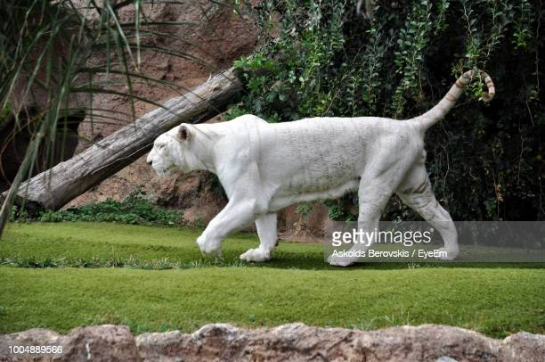 white tiger walking on grass at zoo - big cat stock pictures, royalty-free photos & images