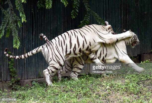 White tigers inside their enclosure at Delhi Zoo on the occasion of International Tiger Day on July 29 2017 in New Delhi India Global Tiger Day often...