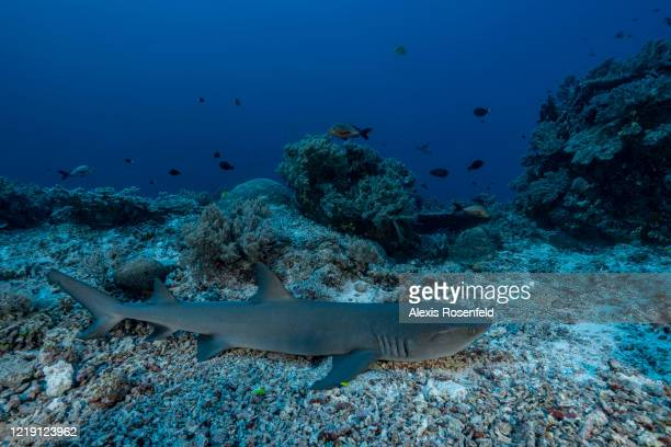 White tip reef shark is resting on April 22, 2018 at Tubbataha Reef, Philippines, Sulu Sea. There are at least 11 species of sharks in Tubbataha,...