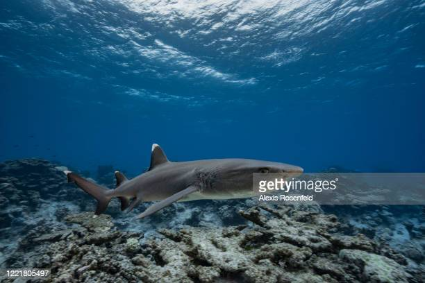 White tip reef shark swims above the reef on February 16 Gambier Islands, French Polynesia, South Pacific. Here, in French Polynesia, Triaenodon...