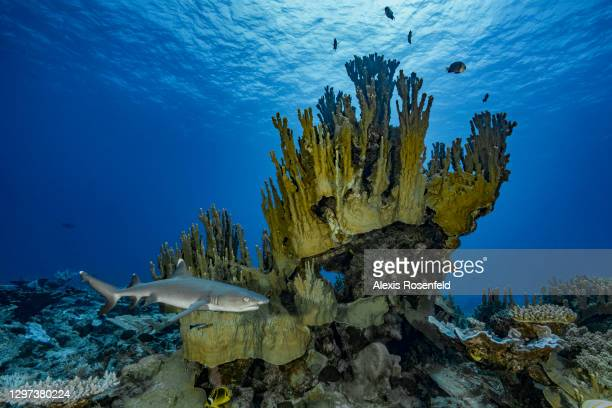 White tip reef shark swims over a coral reef on February 15 Gambier Archipelago, French Polynesia, Pacific Ocean. Triaenodon obesus is a slender and...