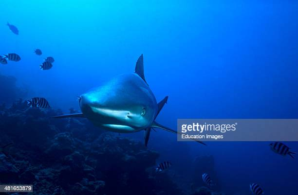 White tip reef shark, Triaenodon obesus, at Shark Reef edge, small usually not exceeding 1.6 m in length and easily recognizable by its slender body,...