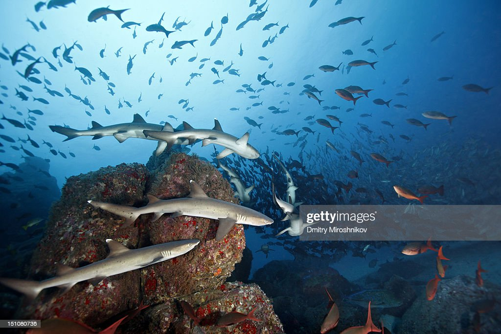 White tip reef sharks, Cocos island : Stock Photo