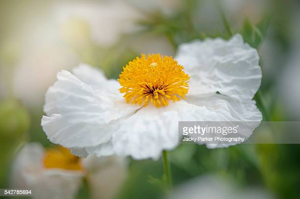 white tree poppy flower - st. albans stock pictures, royalty-free photos & images