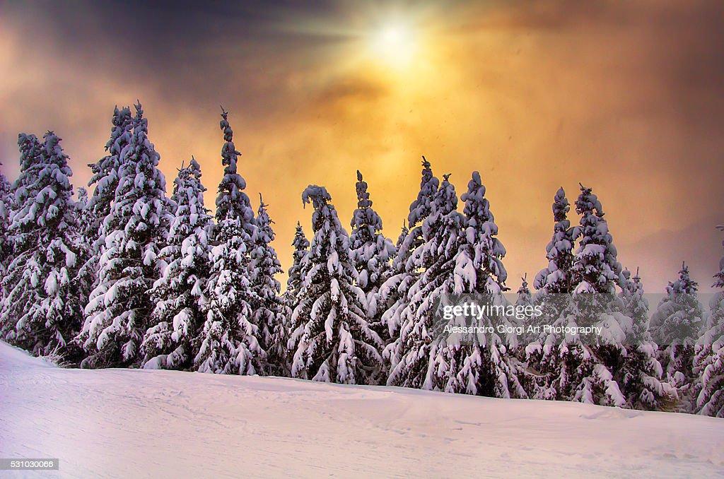 White trees : Foto stock