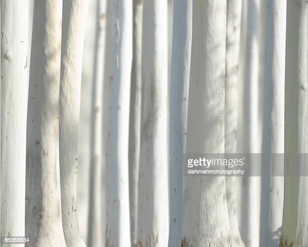 white trees - eucalyptus tree stock pictures, royalty-free photos & images