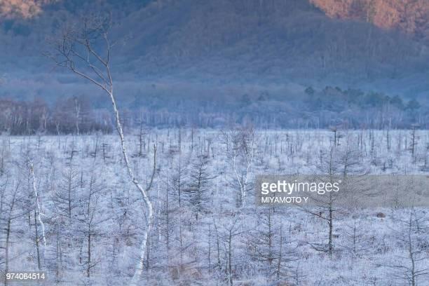 white trees (birches), tochigi, kant, japan - miyamoto y ストックフォトと画像
