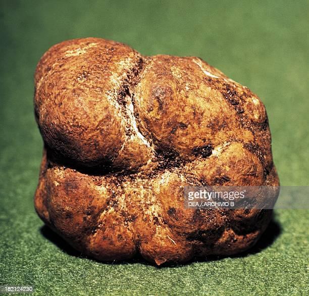 White truffle Tuberaceae
