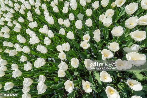 white tulip flower bed high angle view - 果樹の花 ストックフォトと画像