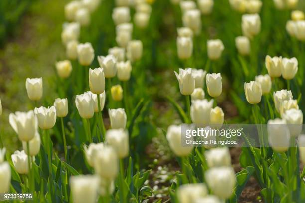 White tulip flower in the garden with tulip background pattern.