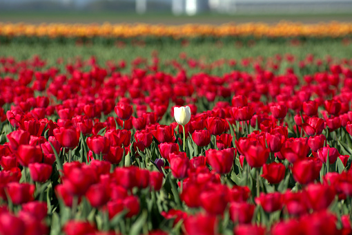 A white tulip in a red field - gettyimageskorea