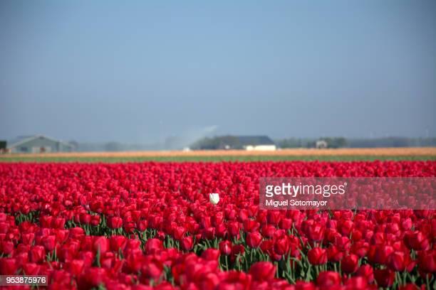 a white tulip in a red ocean - flevoland stockfoto's en -beelden