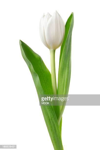 ホワイトのチューリップます。 - 茎 ストックフォトと画像