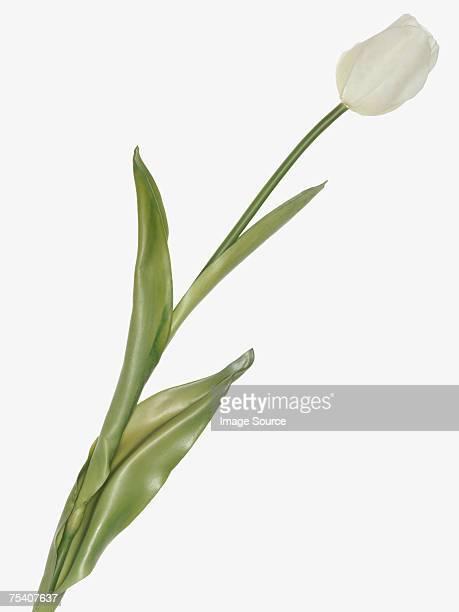 white tulip - 茎 ストックフォトと画像