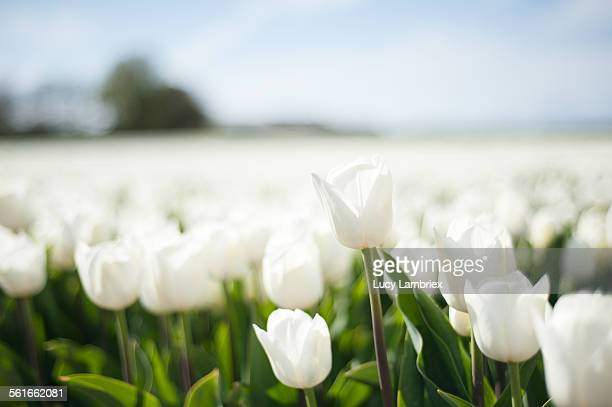 White tulip standing out from the 'crowd'