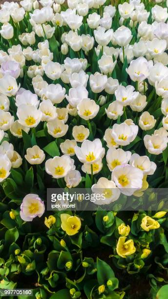 white tulips in a garden - ipek morel stock pictures, royalty-free photos & images