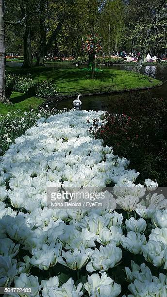 White Tulips In Park With Swan Swimming In Pond