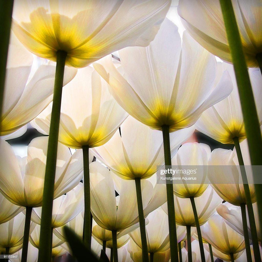 White Tulips : Stock Photo
