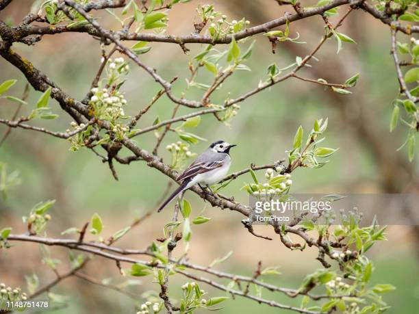 white wagtail bird perched on a twig - セキレイ ストックフォトと画像