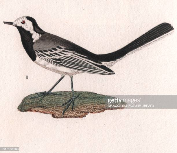 White wagtail colour copper engraving retouched in watercolour 9x15 cm from Dizionario delle scienze naturali compilato da vari professori del...