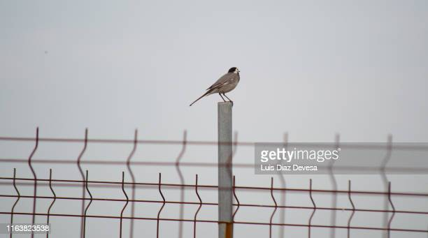 white wagtail over fence at seeking freedom - deportation stock pictures, royalty-free photos & images