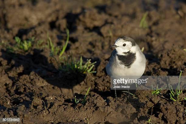 white wagtail (motacilla alba) - セキレイ ストックフォトと画像