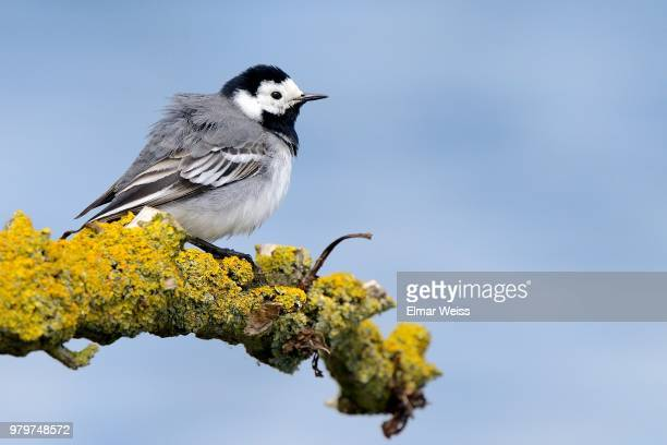 white wagtail - jay weiss stock pictures, royalty-free photos & images