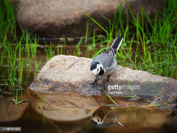 white wagtail sitting on a stone looks into the water - セキレイ ストックフォトと画像