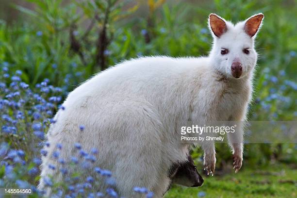 White wallaby and baby.