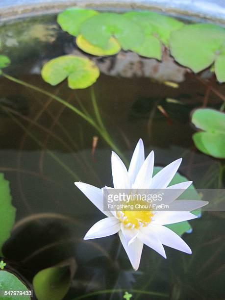 White Water Lily Blooming In Pond
