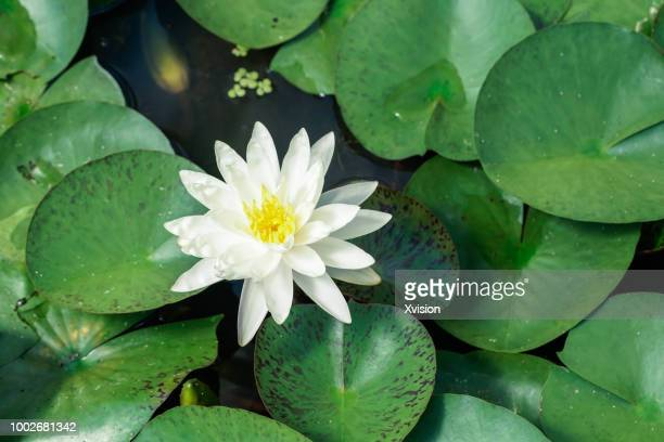 white water lily blooming in summer