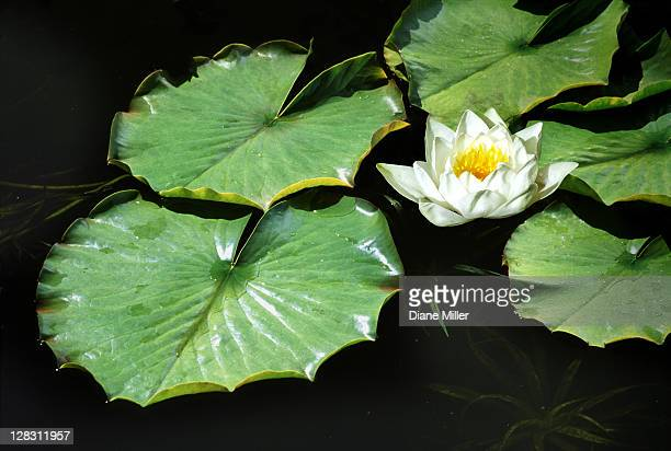 White water lily flower and lily pads floating on water, Romo Island, Denmark, green, leaf,