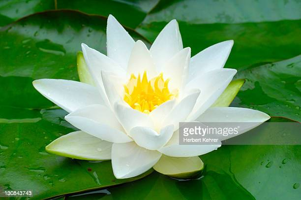 White Water Lily (Nymphaea alba)