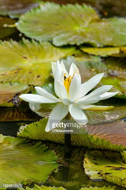 white water lily. - crmacedonio stock pictures, royalty-free photos & images