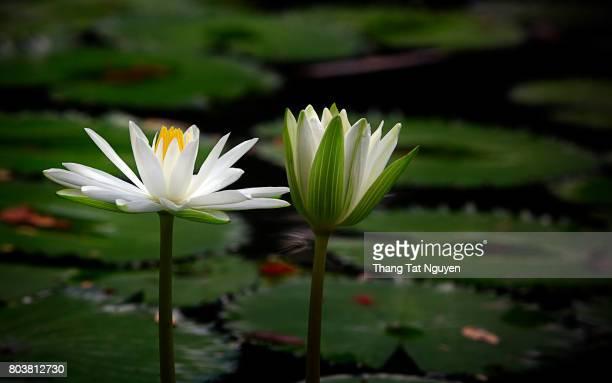 white water lily - aquatisches lebewesen stock-fotos und bilder
