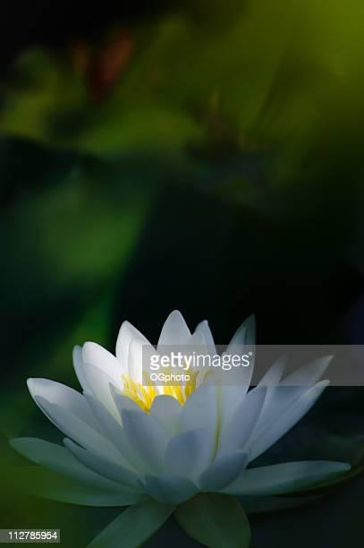 ninfea bianca con albero di luce - ogphoto foto e immagini stock