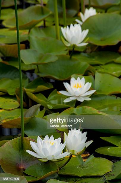 White water-lily (Nymphaea alba) flowering in pond, Pictured Rock National Lakeshore, Michigan, USA