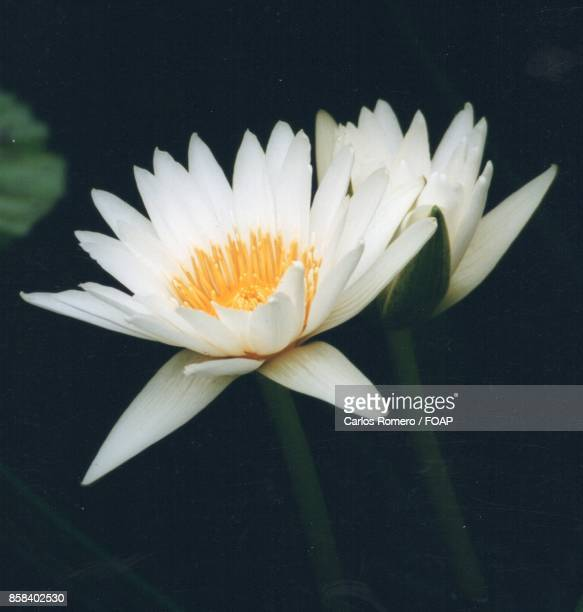 White waterlily in pond