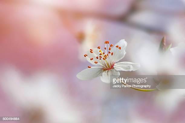 White wild cherry blossom flower