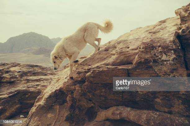 white wild dog in the mountains in petra - wild dog stock pictures, royalty-free photos & images